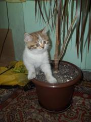 Продаётся британский котенок