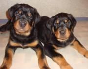 Продаются щенки ротвейлера (мальчик и девочка)