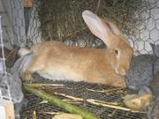 Продаются кролики Бельгийский великан