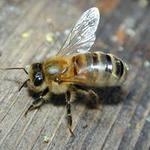 Пчелопакеты Карпатка Доставка бесплатная